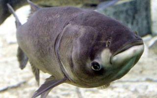 Что за рыба толстолобик и на что его можно поймать?