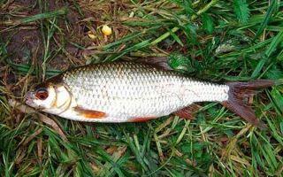 Рыба плотва обыкновенная