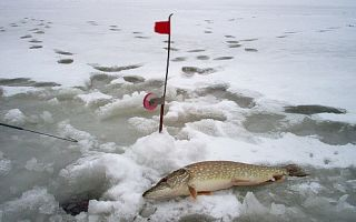 Как и где ловить щуку на зимнюю жерлицу?