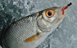 Рыба сорожка (Плотва)