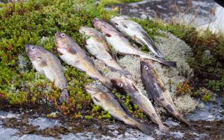 Все о ловле трески на Белом море