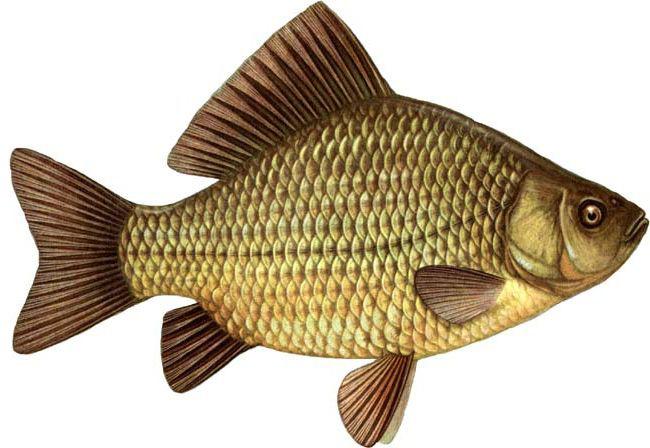Речная рыба. Список
