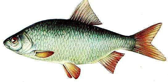 Сорожка рыба