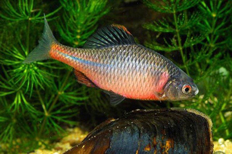 Горчак рыба