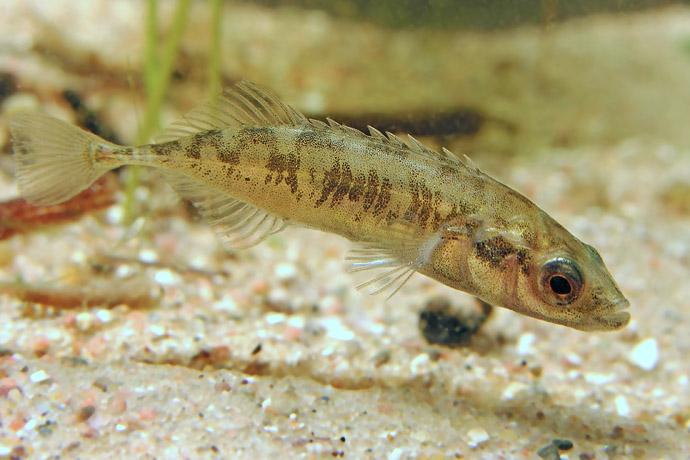Рыба колюшка