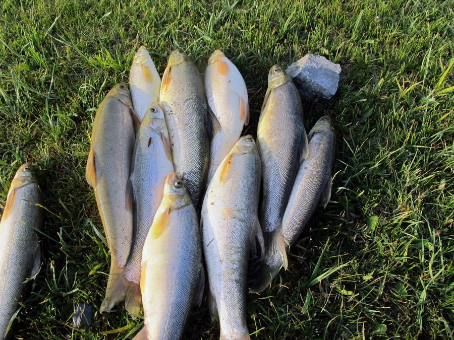 Рыба маринка