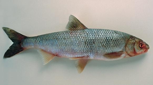 Кутум: рыба-долгожитель
