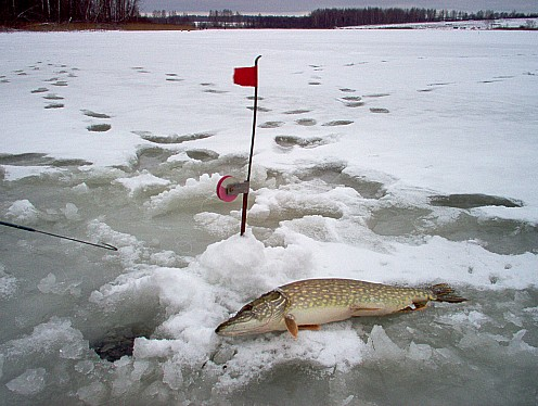 как ловить зимой на зимнюю жерлицу оснастка