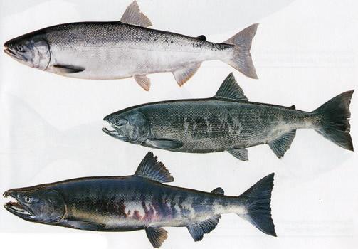 как выглядит рыба кета чем отличается от горбуши