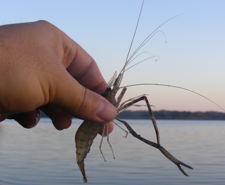 как ловить креветку
