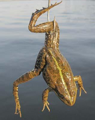 ловля на лягушку