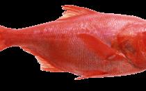 окунь морской красный