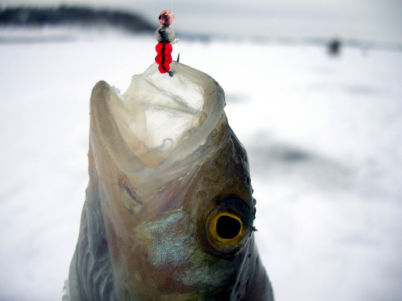 На что, как ловить окуня зимой: зимние приманки, тонкости ловли, как ловить на мормышку?