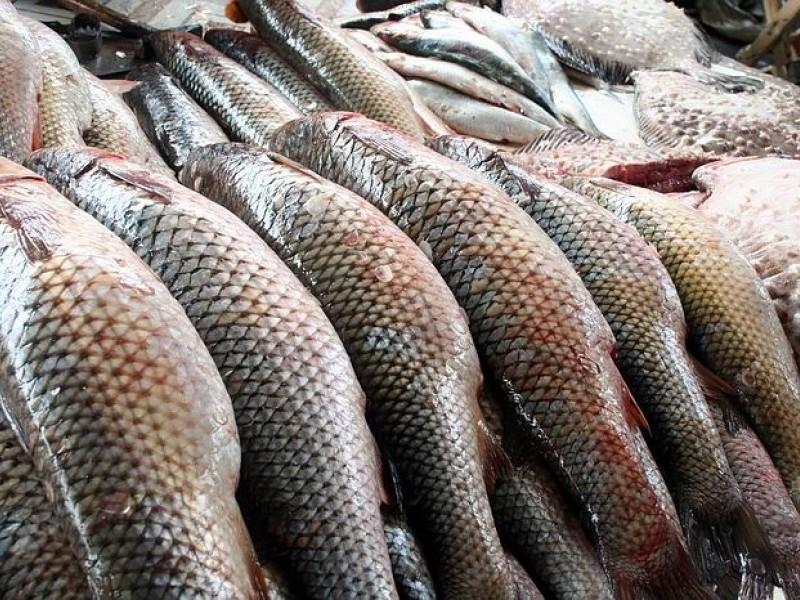 пеленгас что за рыба снасти для ловли