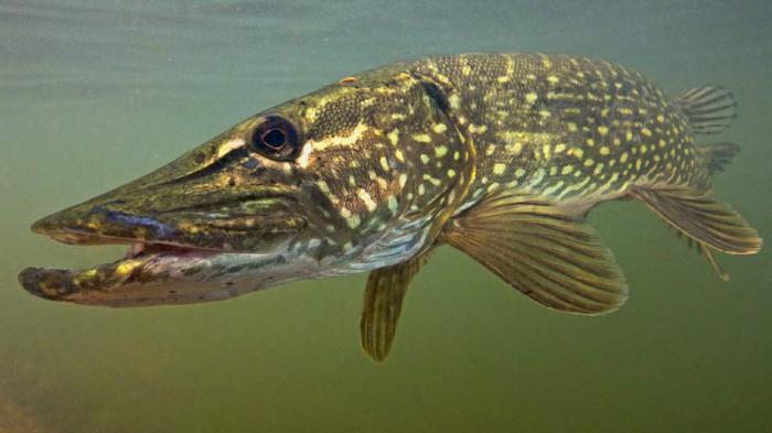 рыбы чем питаются