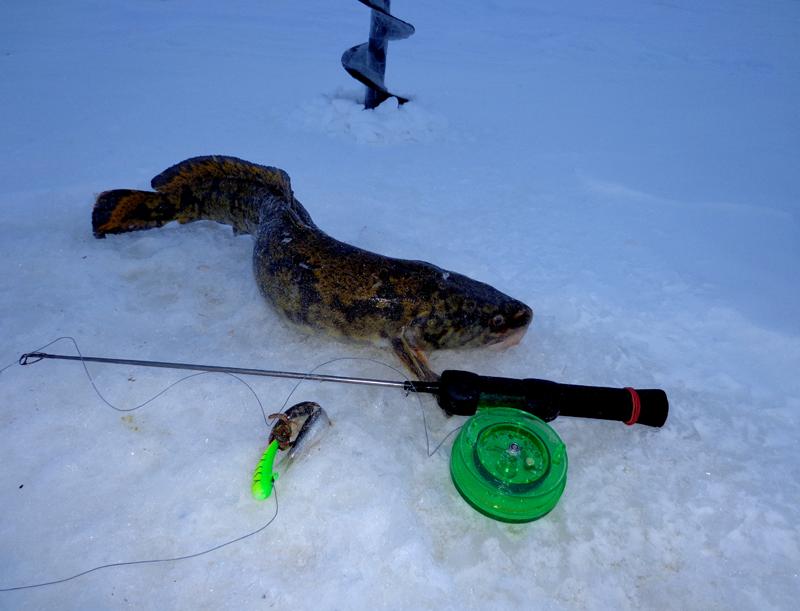 Стукалка на налима: ловля зимой