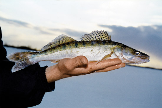Ловля судака зимой на течении – секреты рыболовства