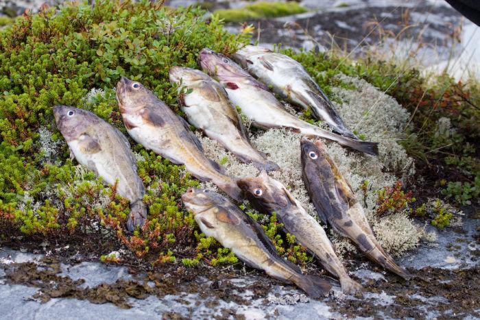 Лов трески на Белом море