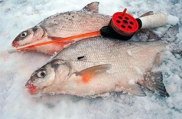 Как ловить плотву зимой?