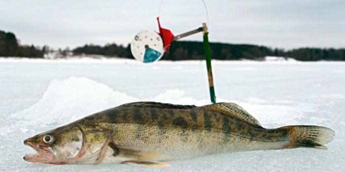 Ловля судака со льда на жерлицы